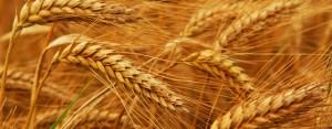 wheat-procurement-640x250